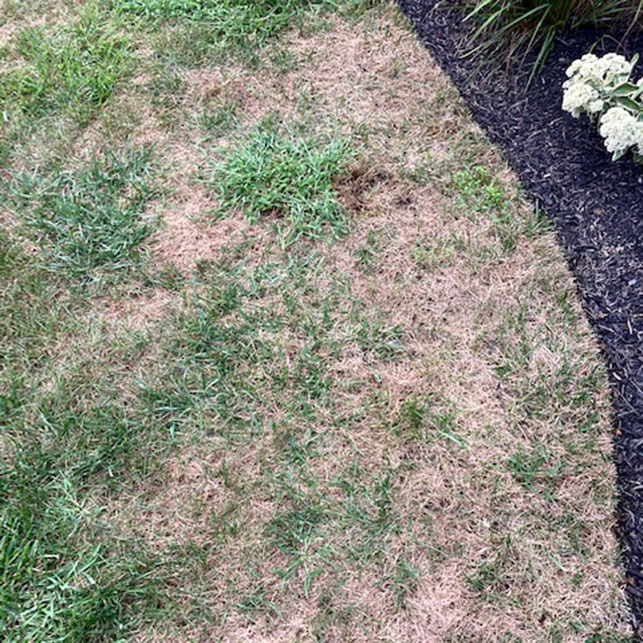 Armyworm Damage Lawn