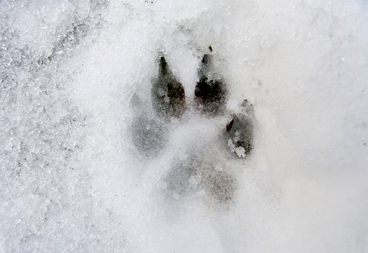 Dog Paw Print Winter Snow