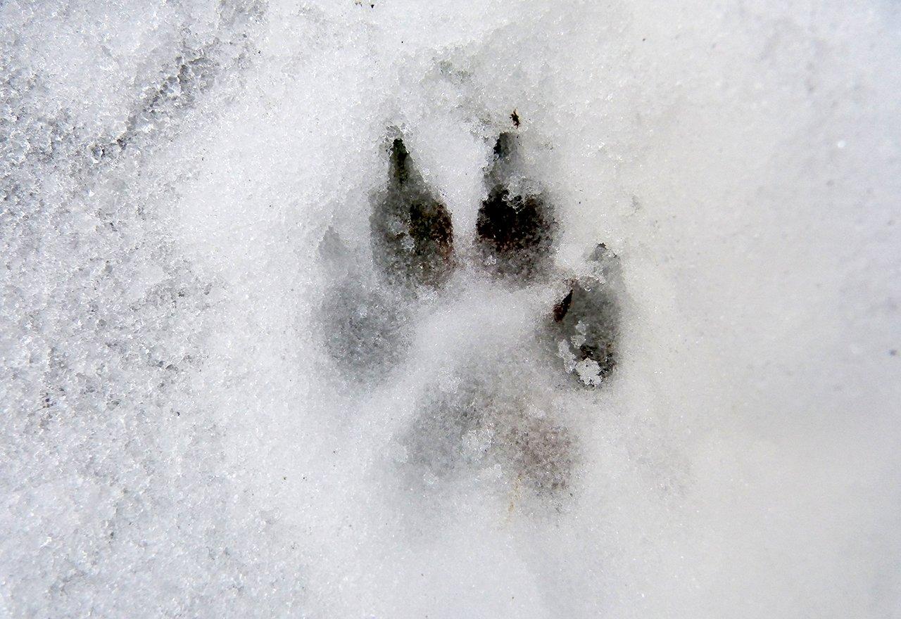 Dog Paw Print Winter Snow