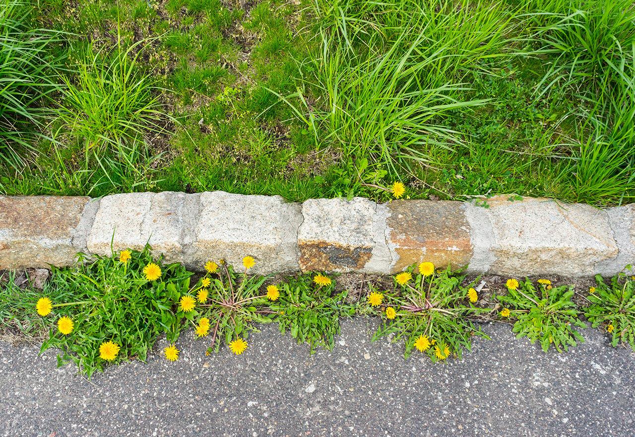 Weeds Dandelions Driveway Tree Lawn