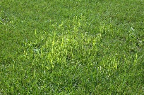 nutsedge in a lawn