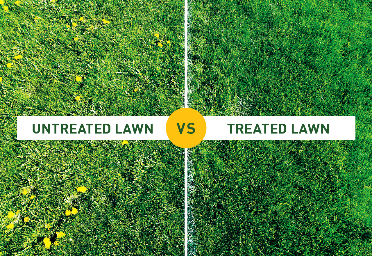 Grass Comparison Dandelions Weed Buster