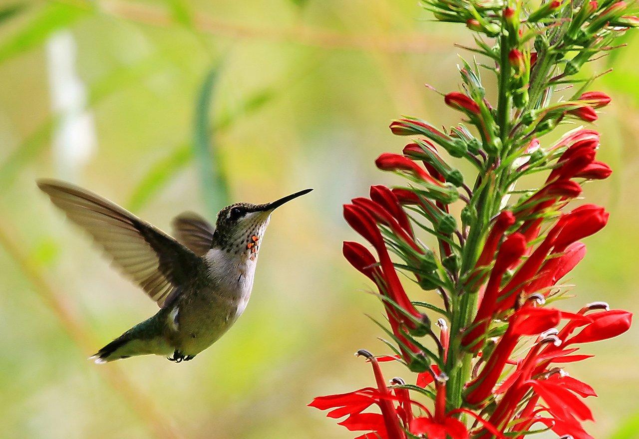 Hummingbird Cardinal Flower