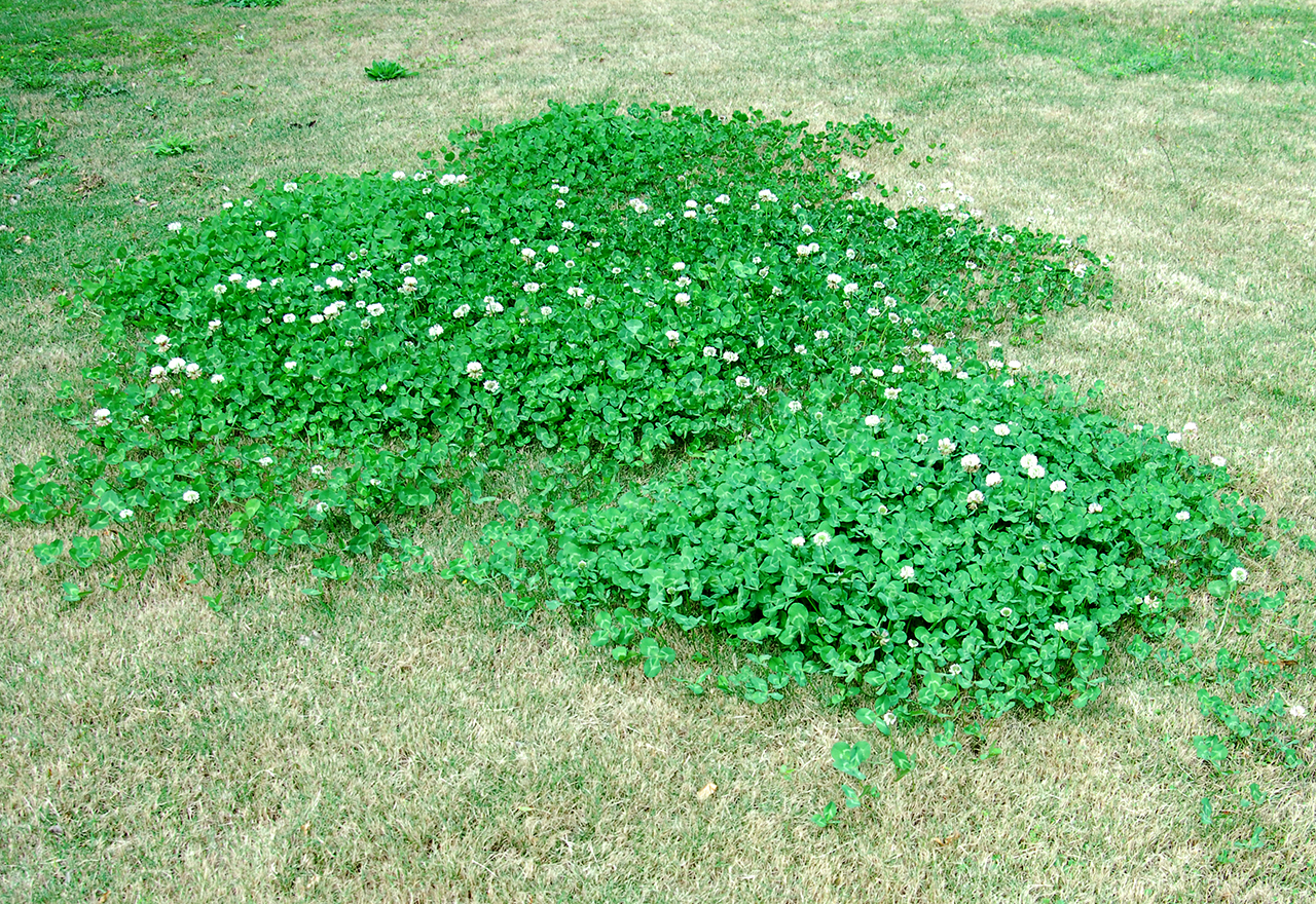 Microclover Lawn Bad
