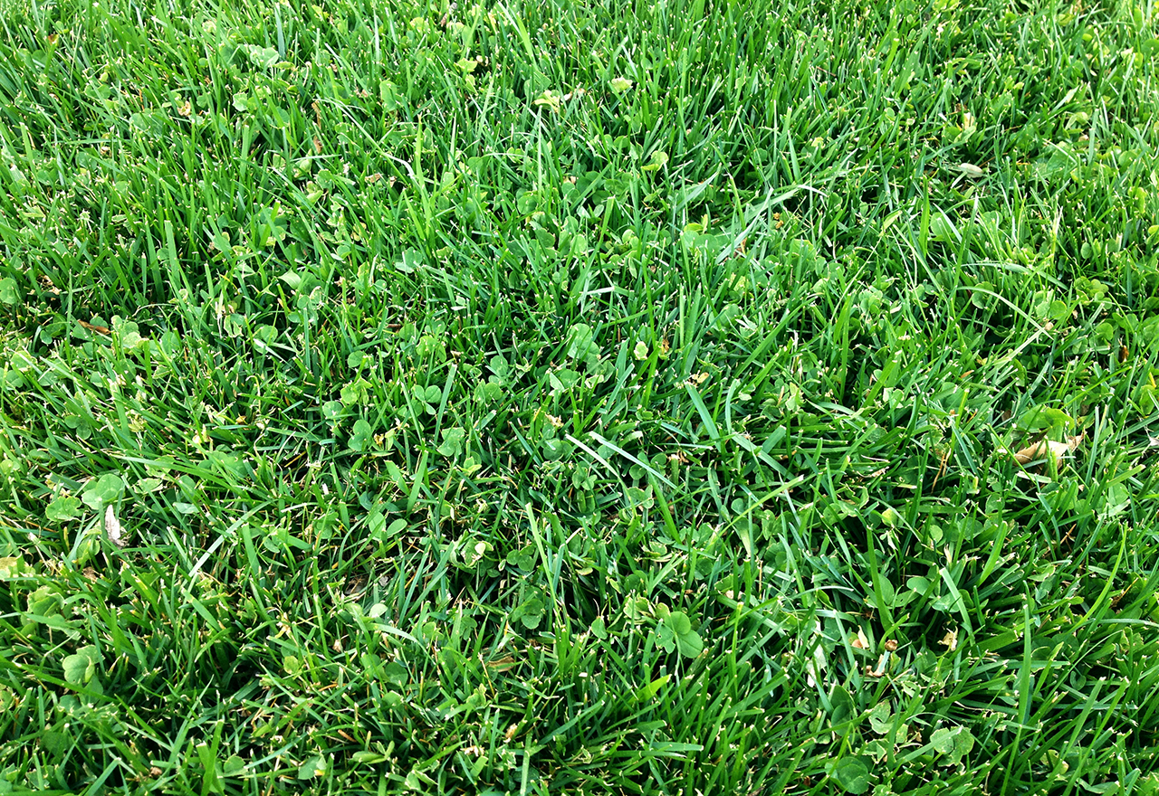 Microclover Lawn Good