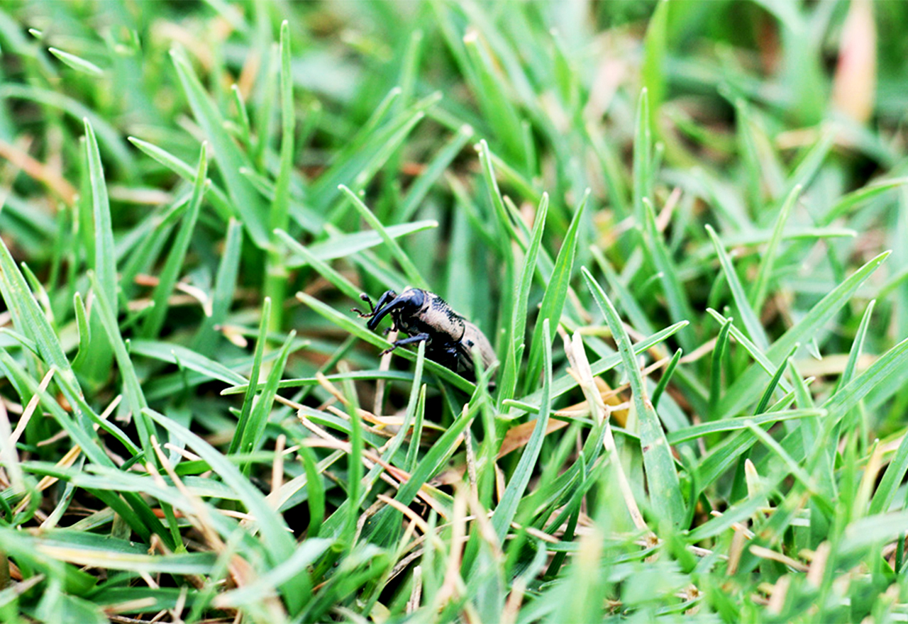 Pest Billbug Grass