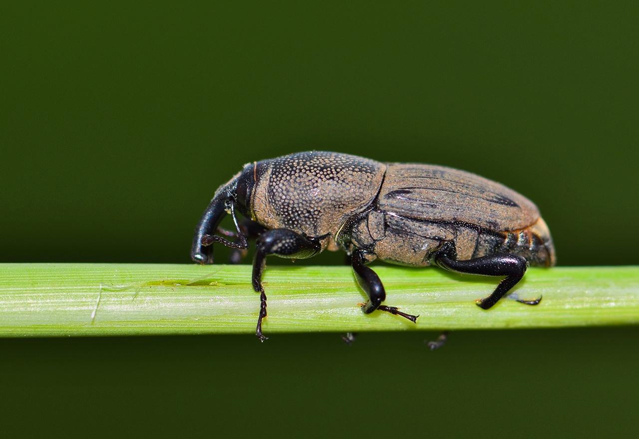 Pest Billbug