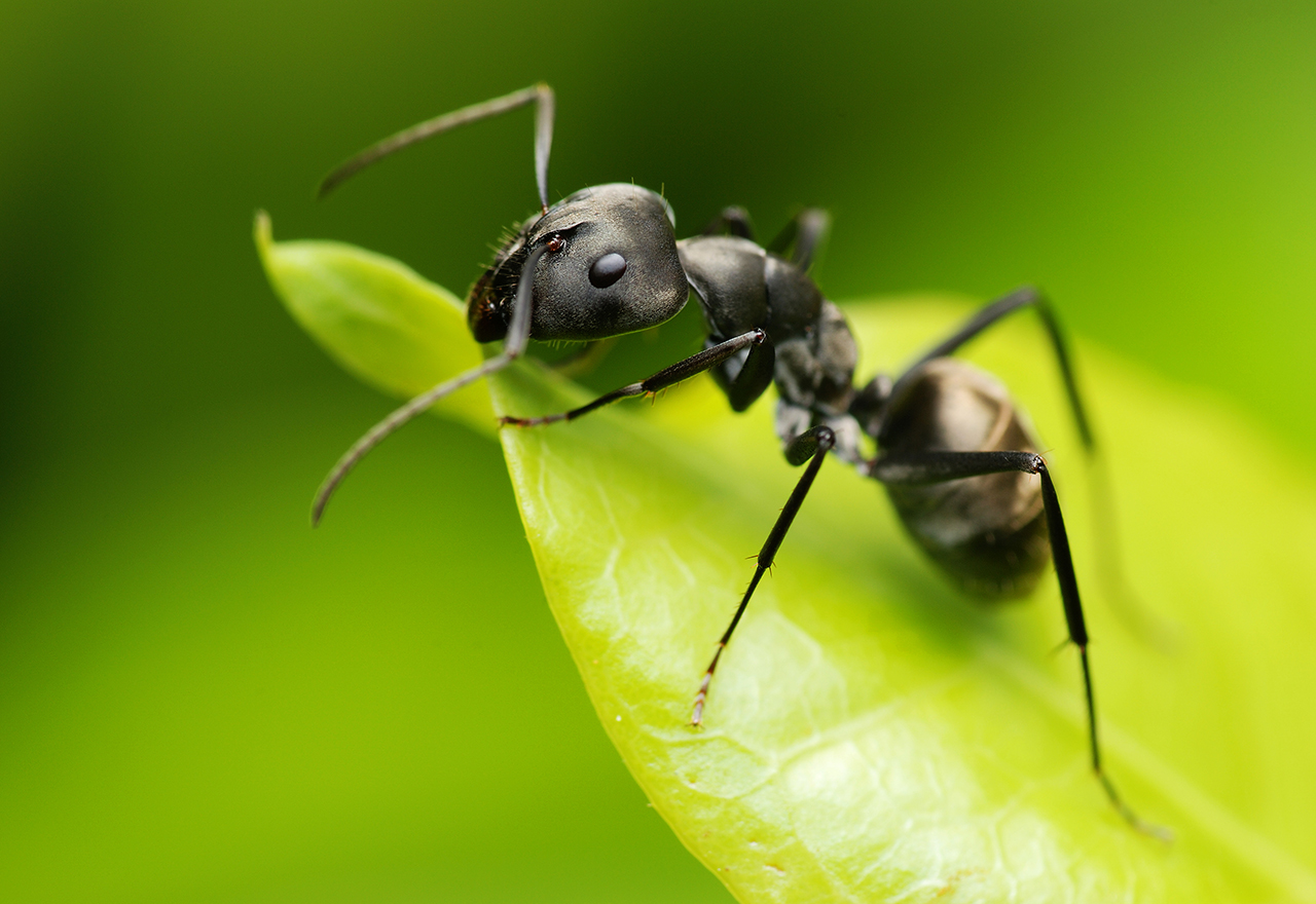 Pest Black Ant