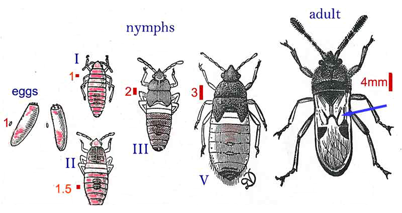 Pest Chinch Bug Diagram Illustration