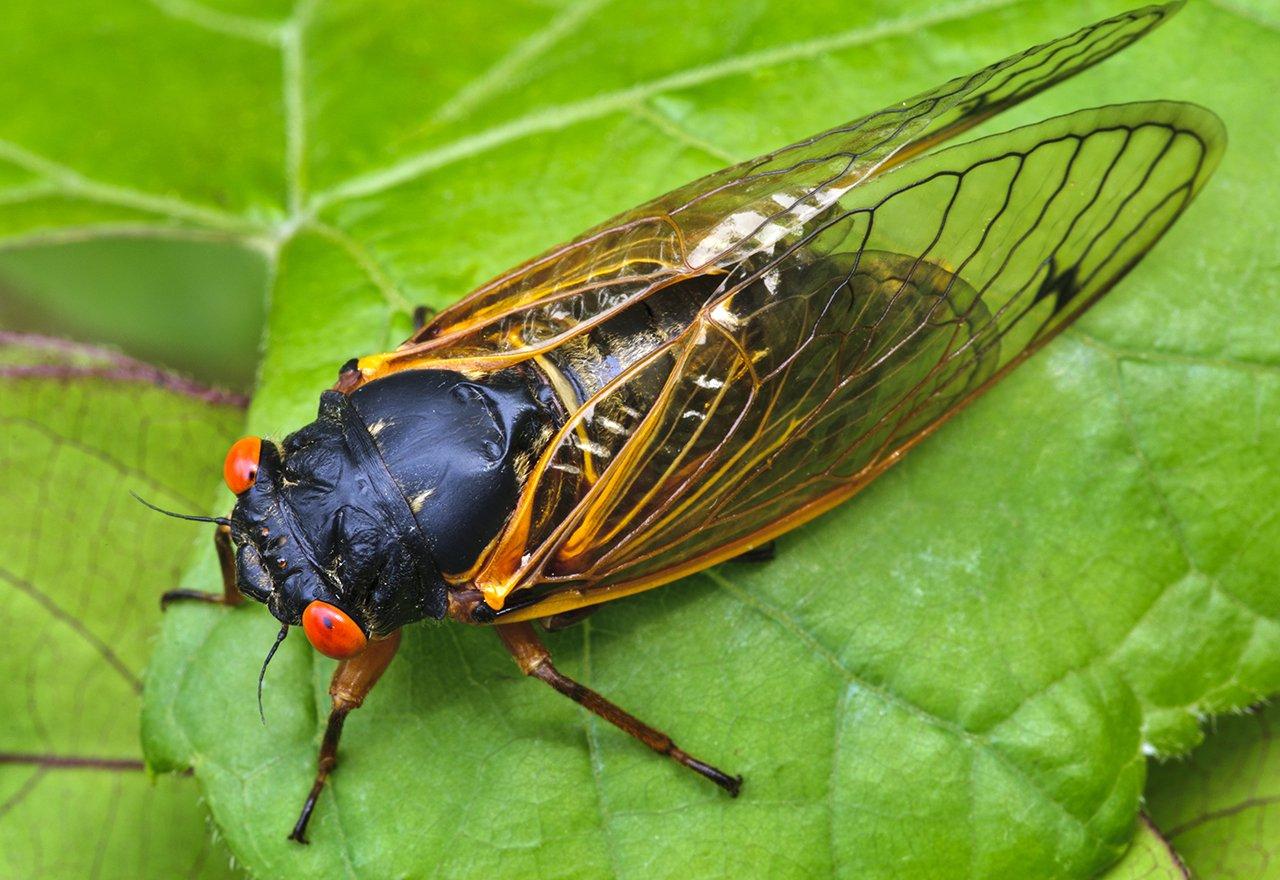 Pest Cicada Leaf