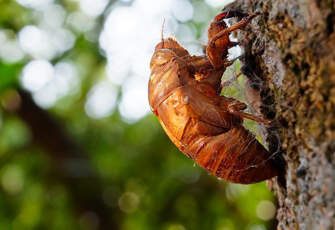 Pest Cicada Tree