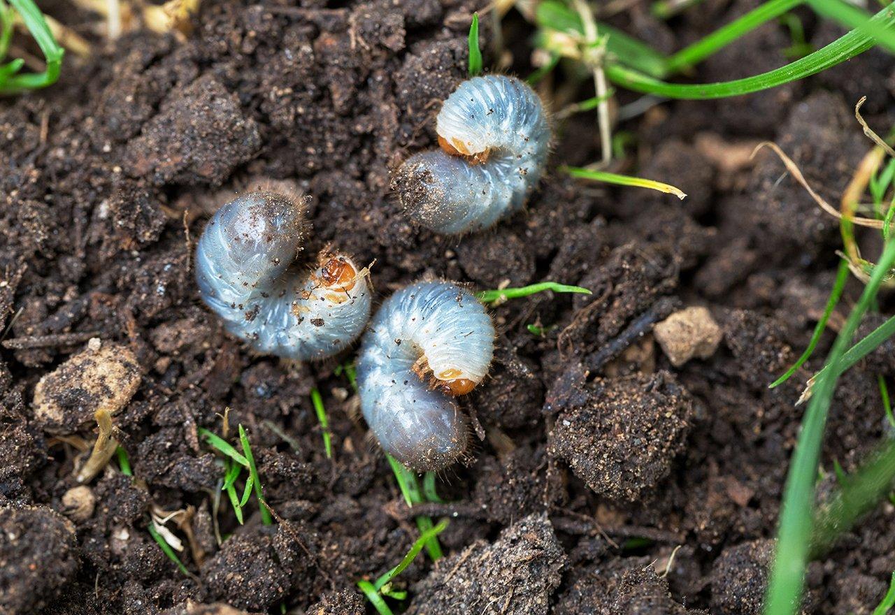 Pest Grubs