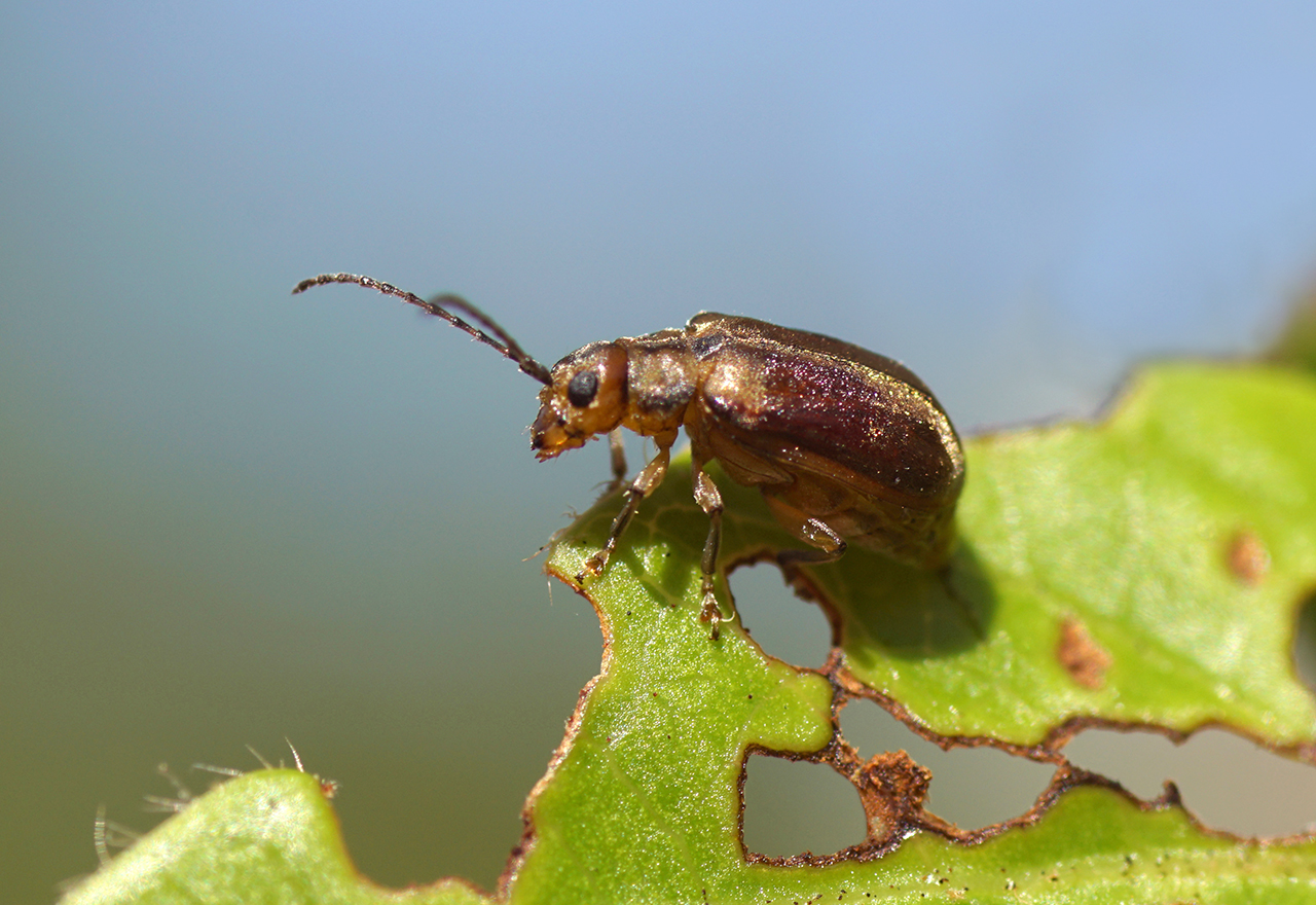 Pest Viburnum Leaf Beetle Adult