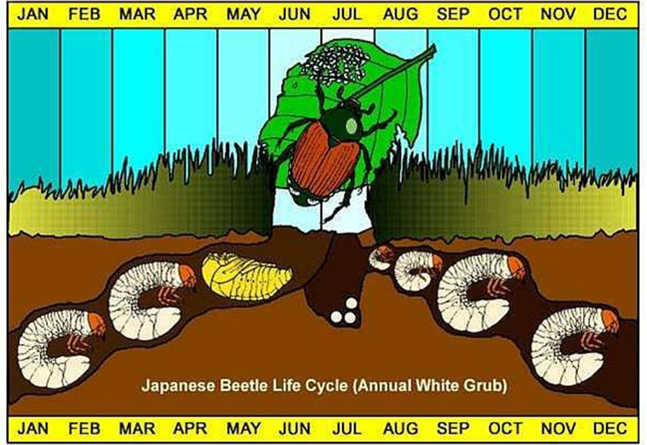 Pest_LifeCycle_JapaneseBeetle_Illustration
