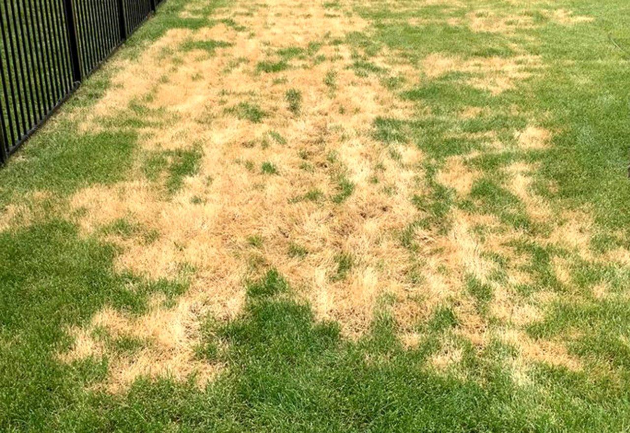 Problem Grass Ascochyta Leaf Blight Lawn