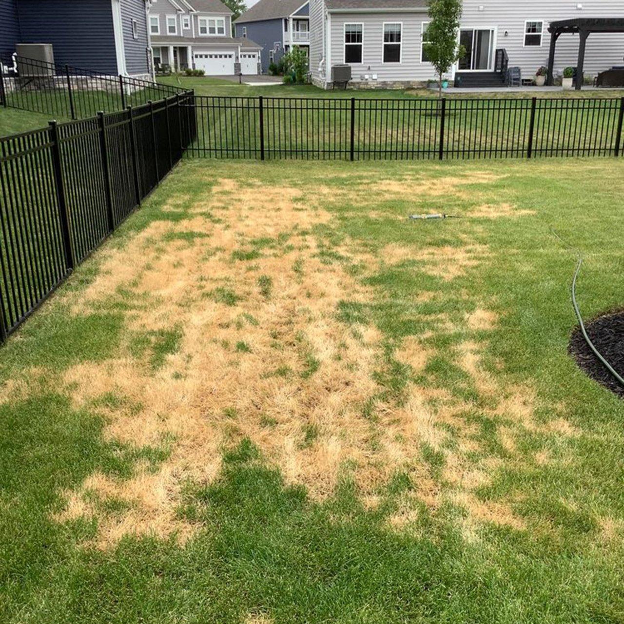 Problem Grass Ascochyta Leaf Blight Yard Square