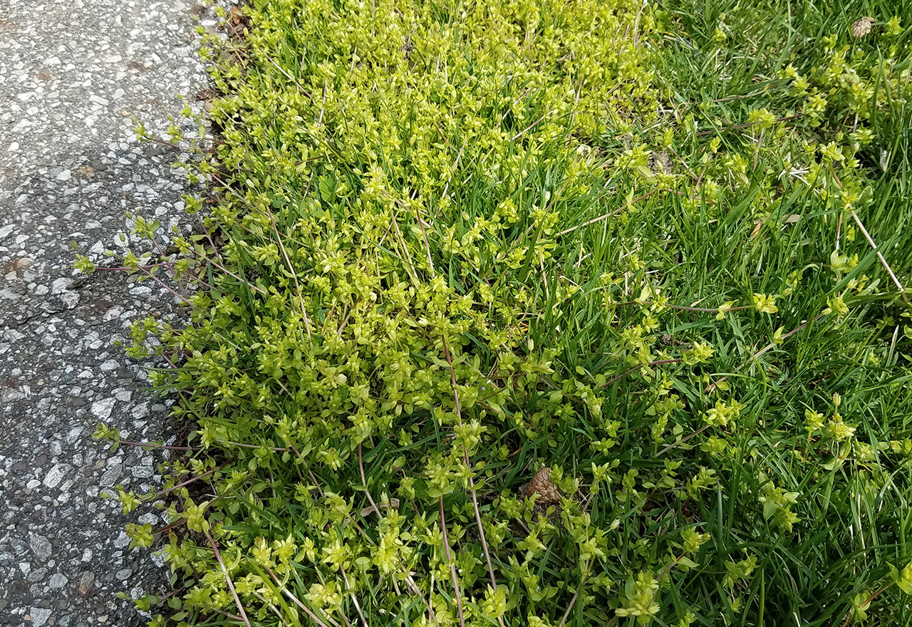 Problem Grass Chickweed Lawn