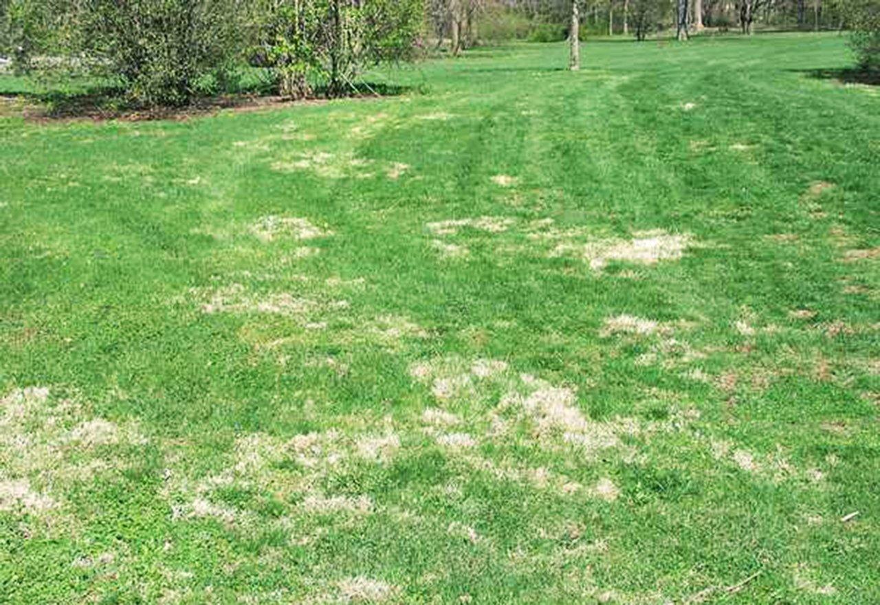 Problem Grass Nimblewill