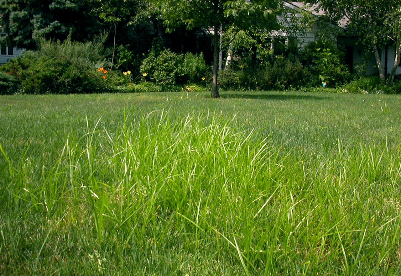 Problem Grass Nutsedge