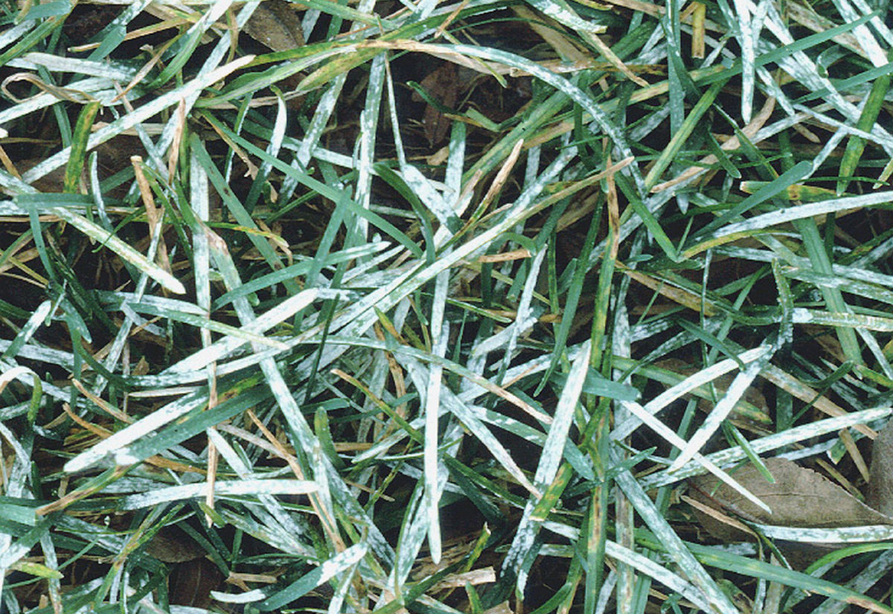 Problem Grass Powdery Mildew
