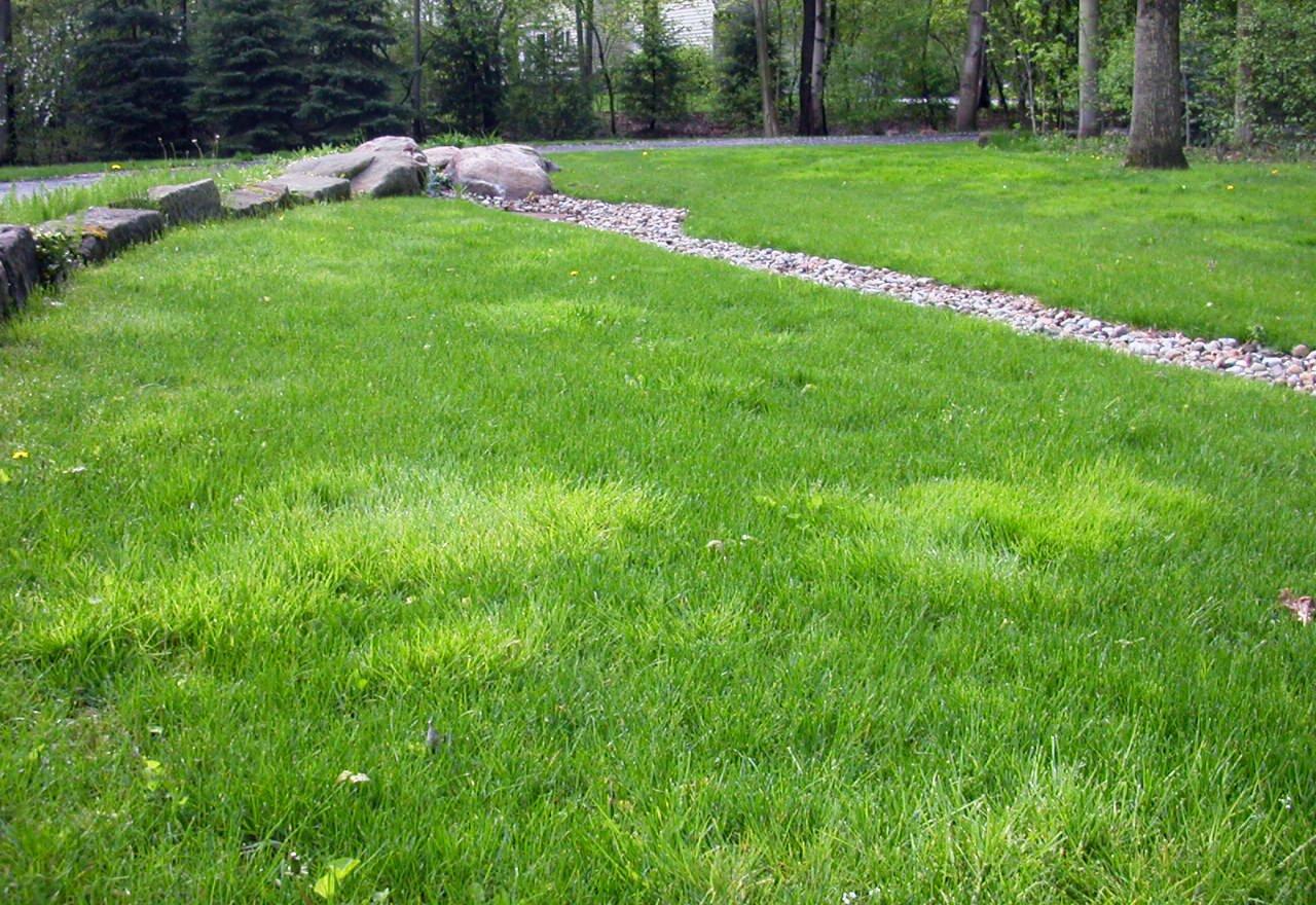 Problem Grass Rough Bluegrass