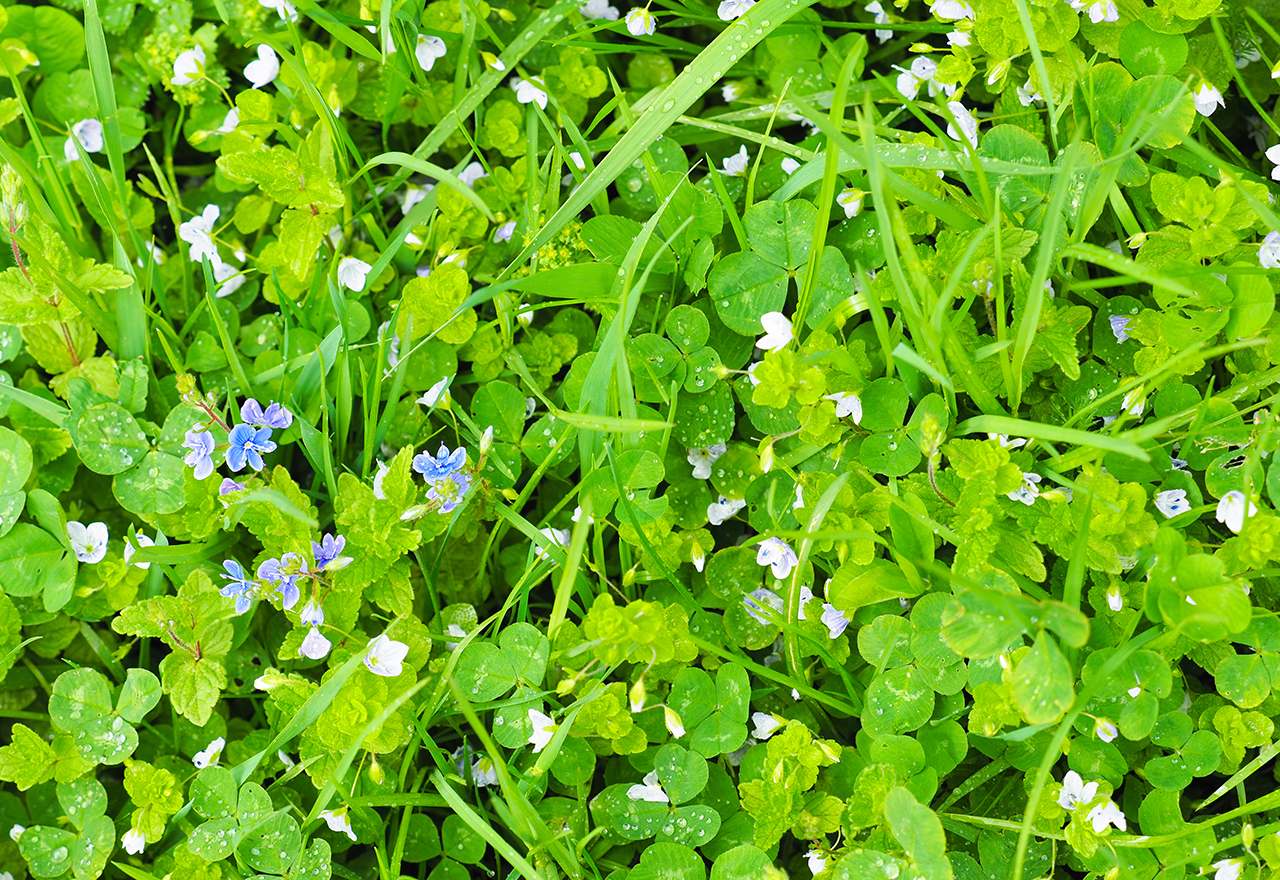 Problem Grass Veronica Weed Lawn