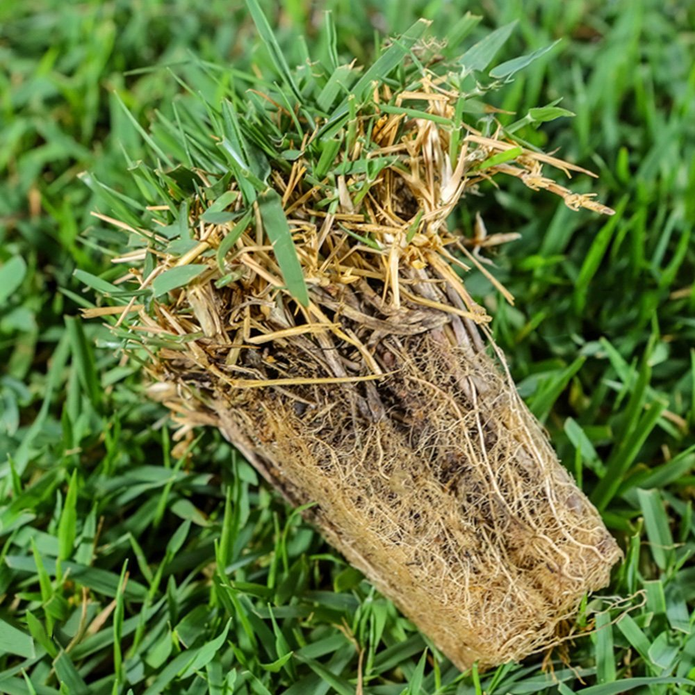 Problem Grass Zoysia Grass Plug