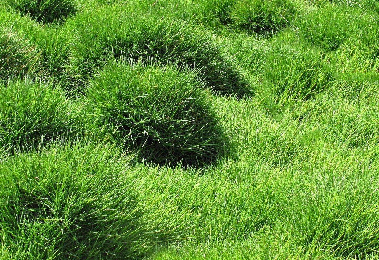 Problem Grass Zoysia Grass