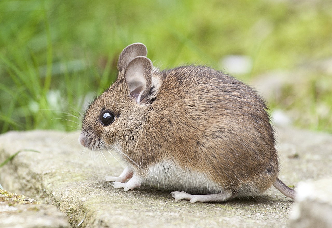 Rodent Brown Mouse