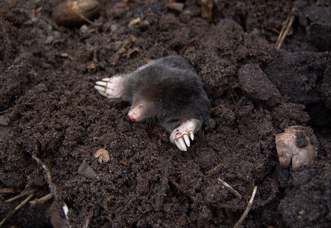 Rodent Mole
