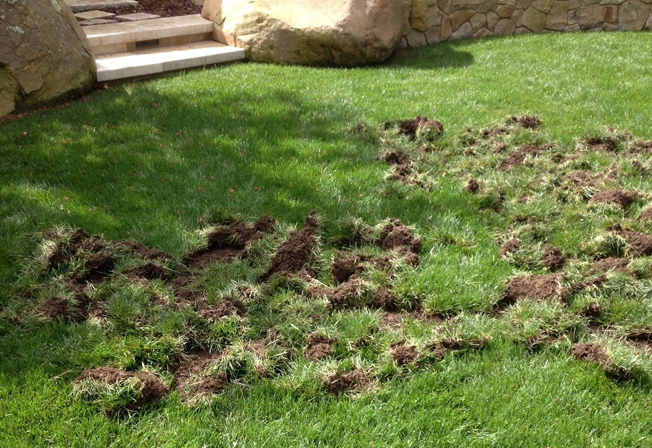 Grub Damage in a Lawn