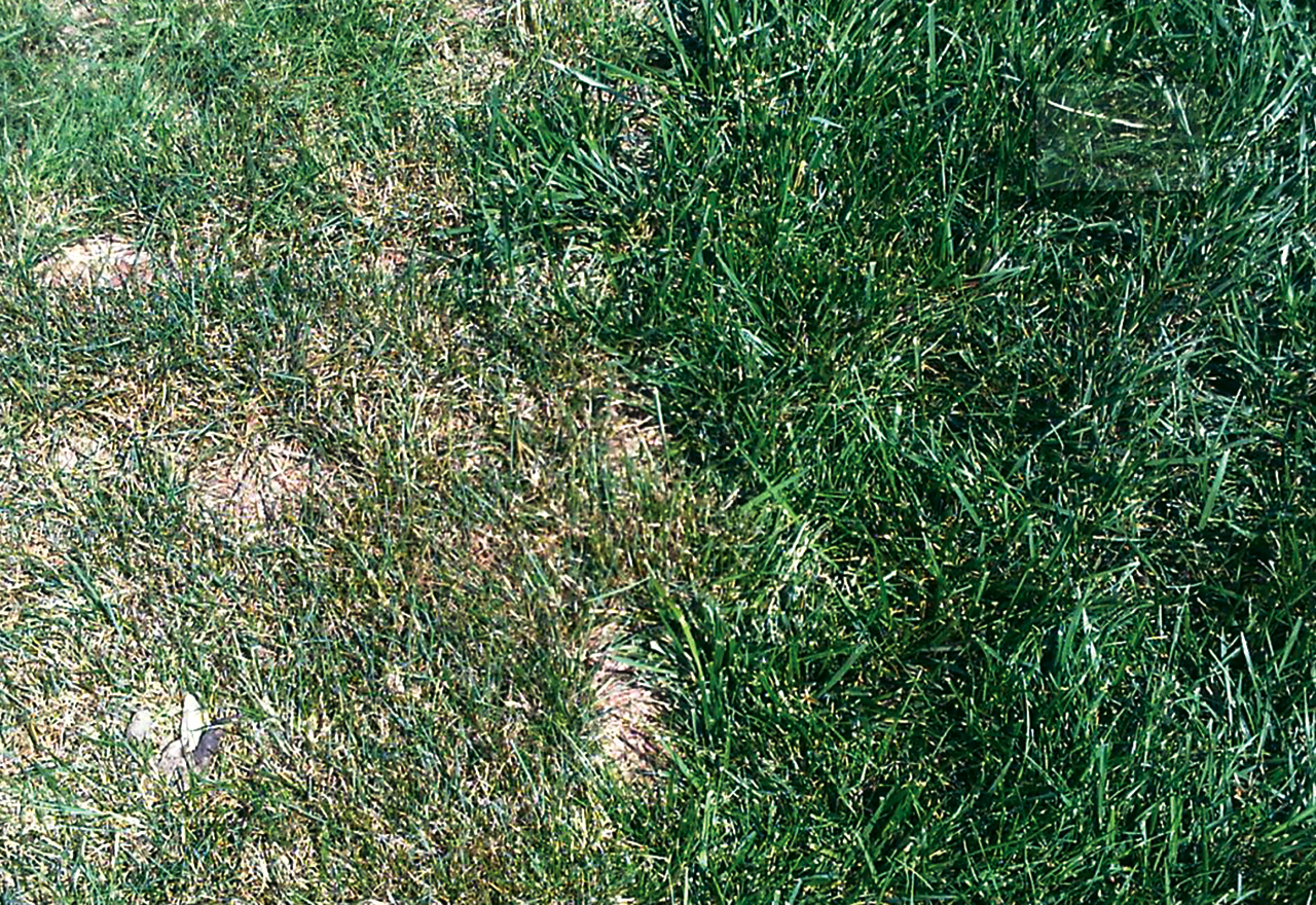Tuff Turf Mix vs. Perennial Ryegrass