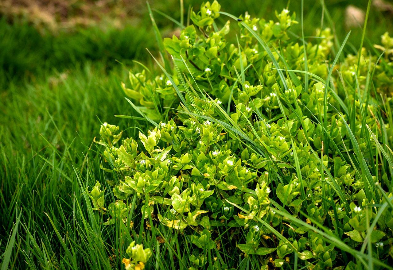 Weed Chickweed Stellaria Media Lawn