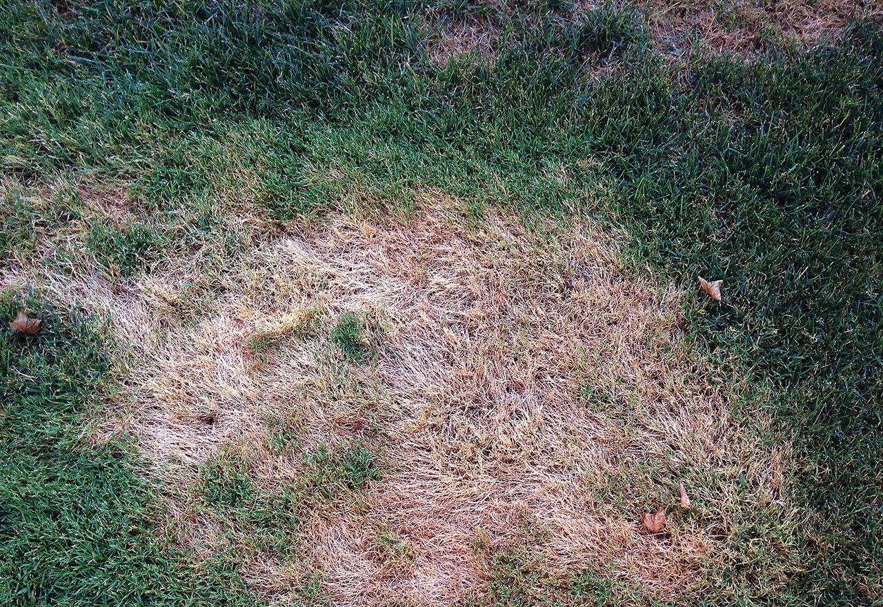 Weed Creeping Bentgrass