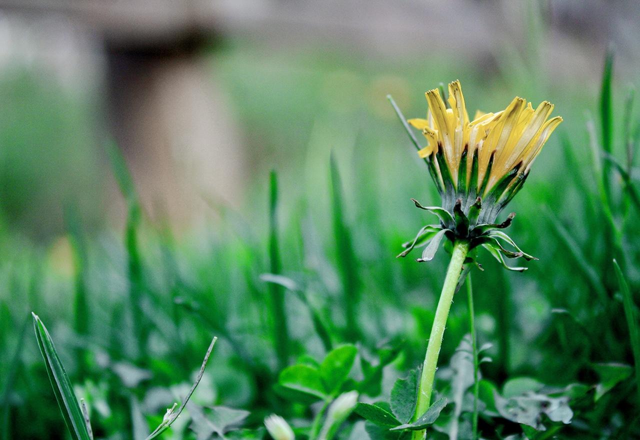 Weed Dandelion
