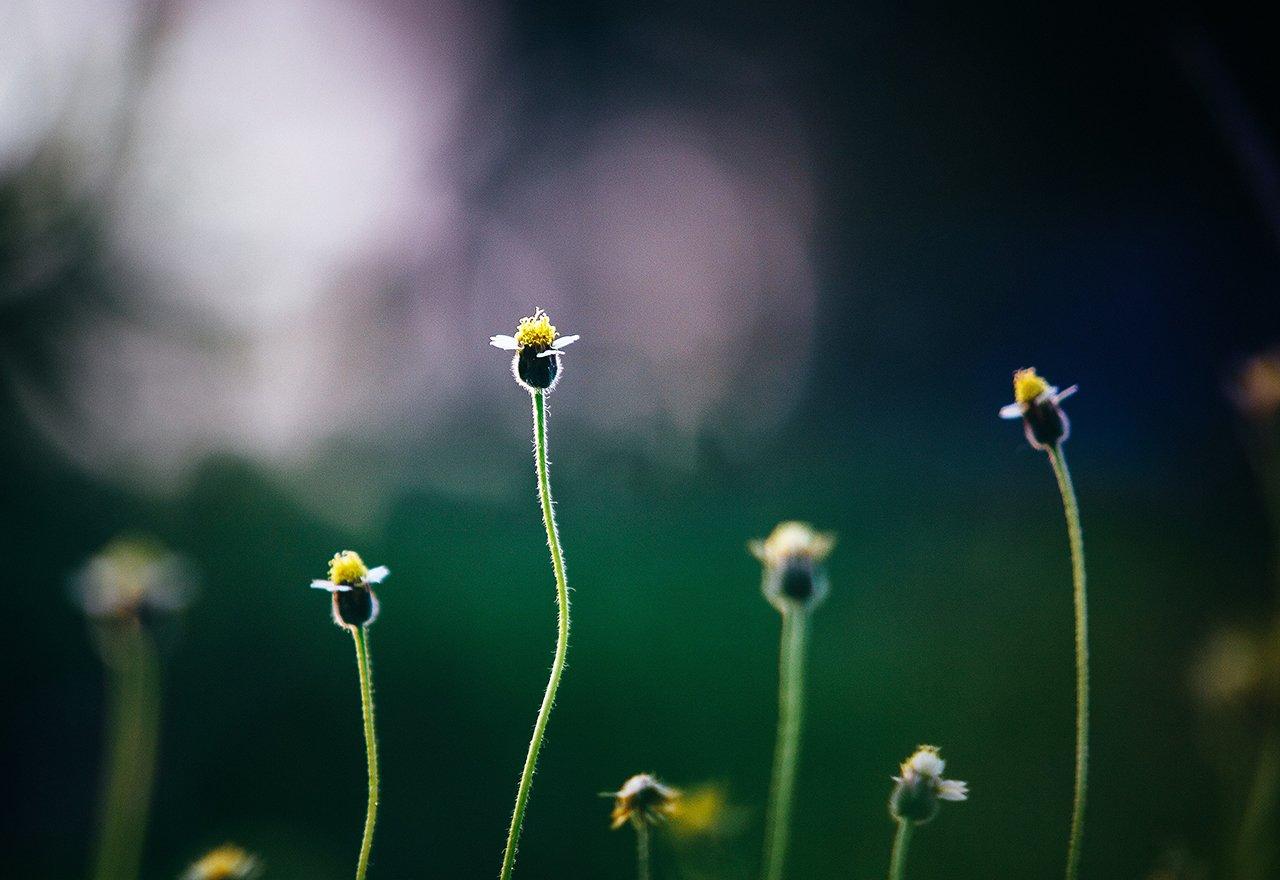 Weed Dandelions Field