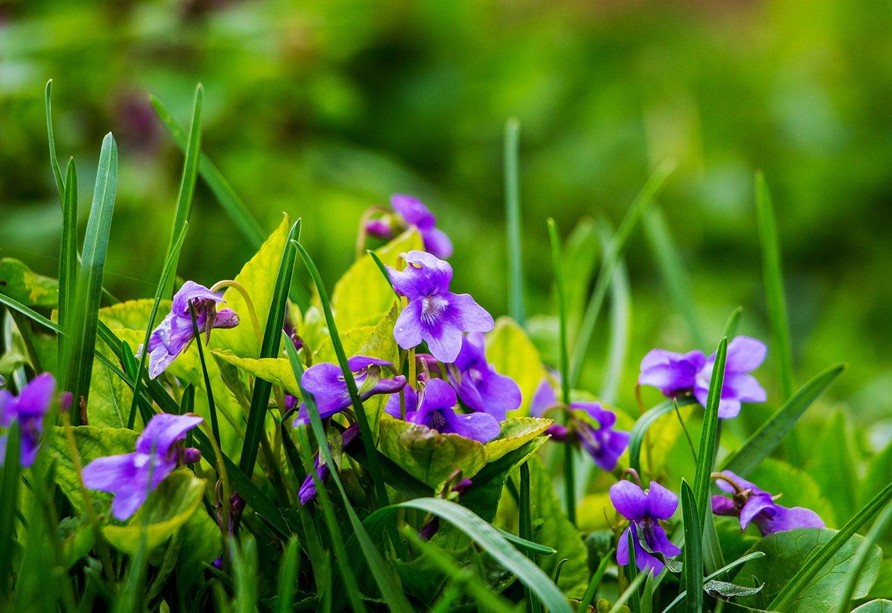 Weed Wild Violet Grass