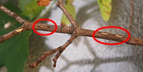 Cicada lay eggs