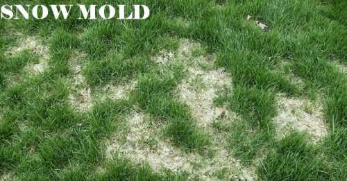 Snow Mold