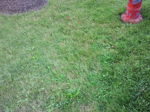 chemically treated lawn with weeds