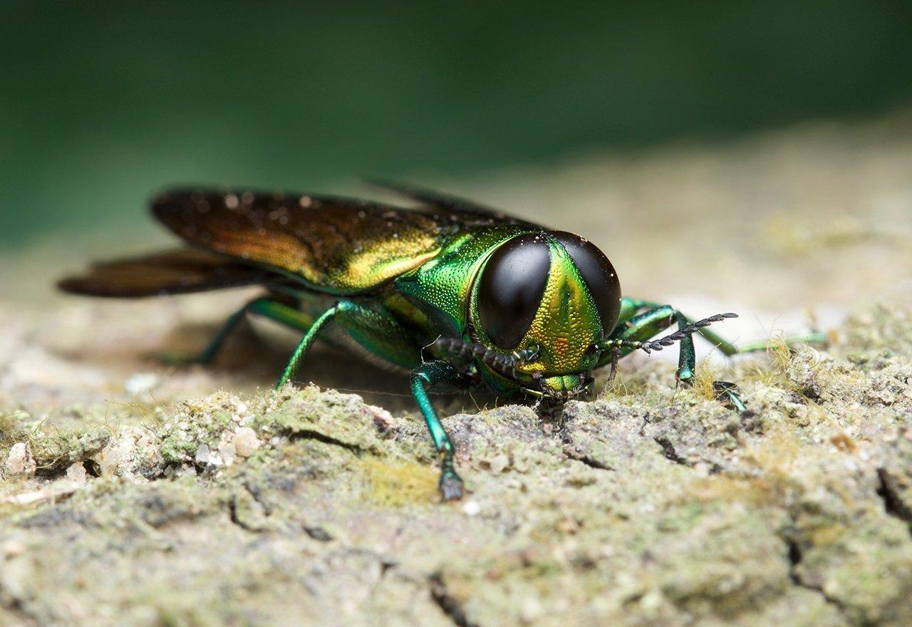 Pest Ash Borer