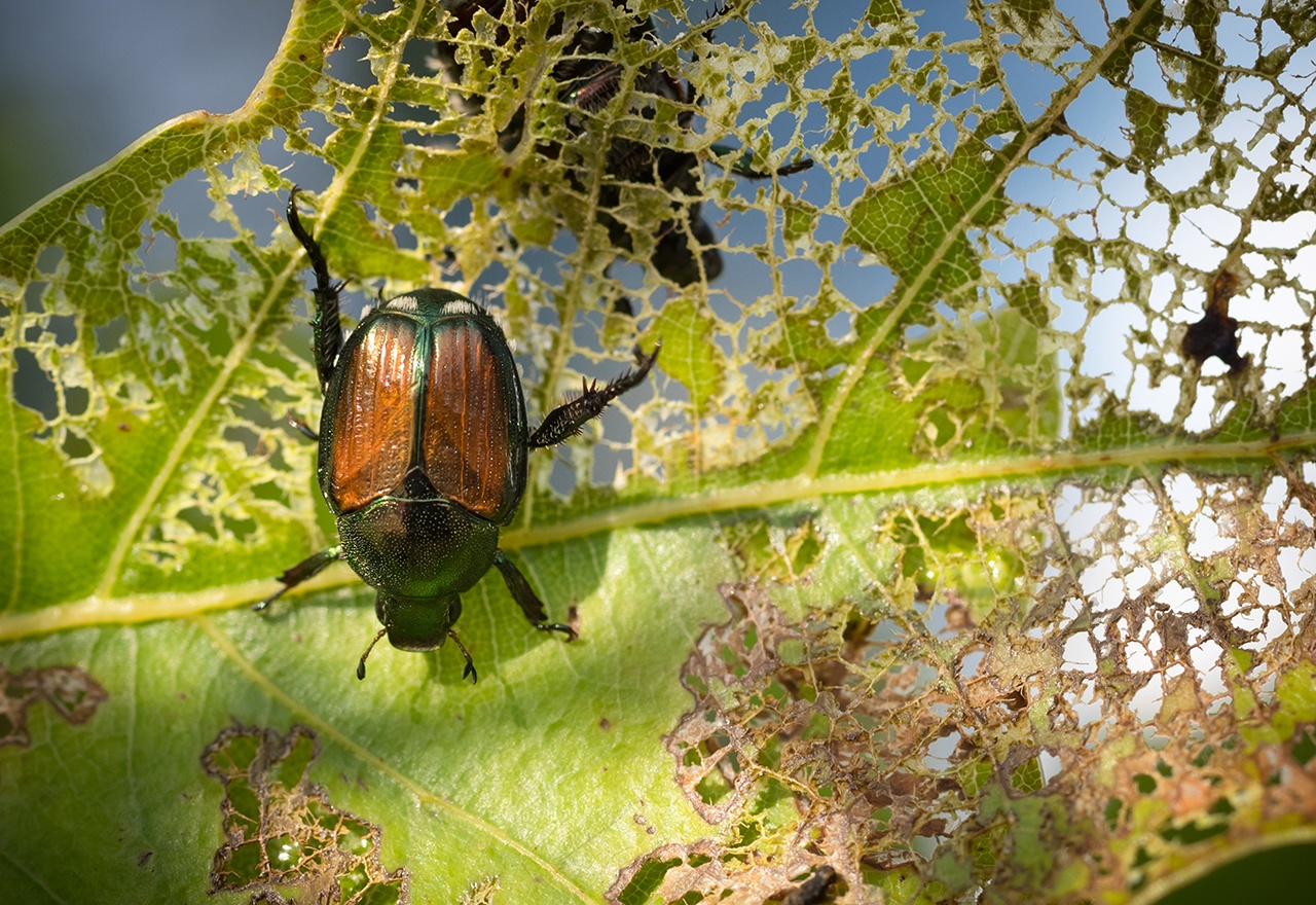 Pest Japanese Beetle
