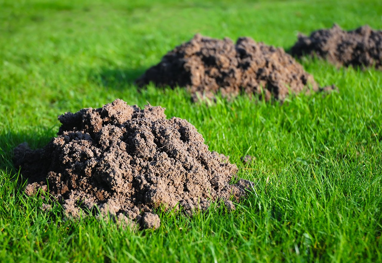 Rodent Mole Digging Mounds